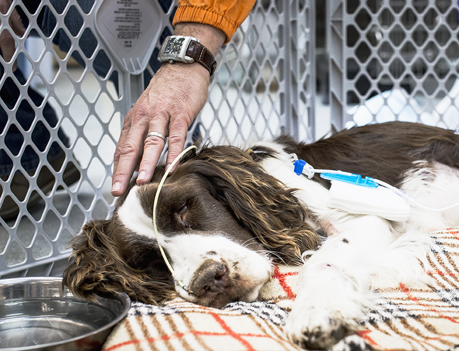 Mr. Clayton, the RESCUED English Springer Spaniel