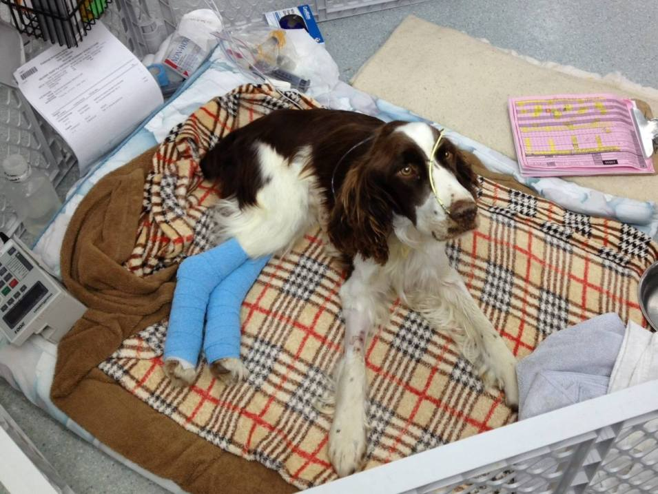 Clayton the RESCUED English Springer Spaniel