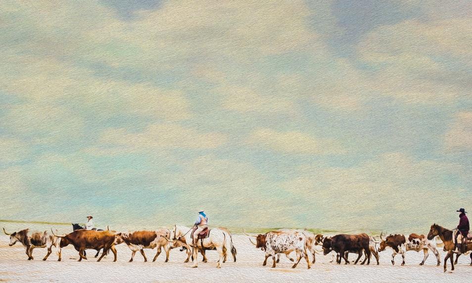 The Fort Worth Stockyard Herd